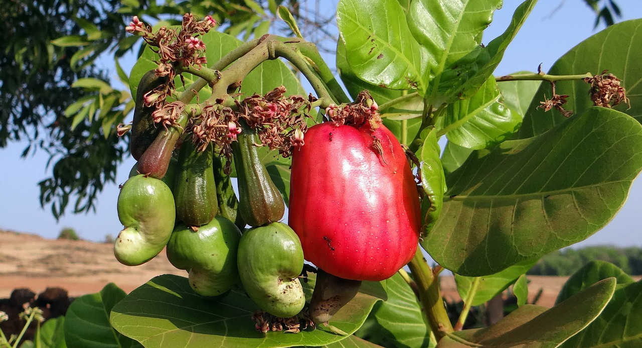 Cashew apples growing on a tree.