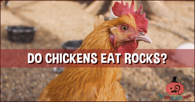 Do Chickens Eat Rocks - Put This in Your Brain