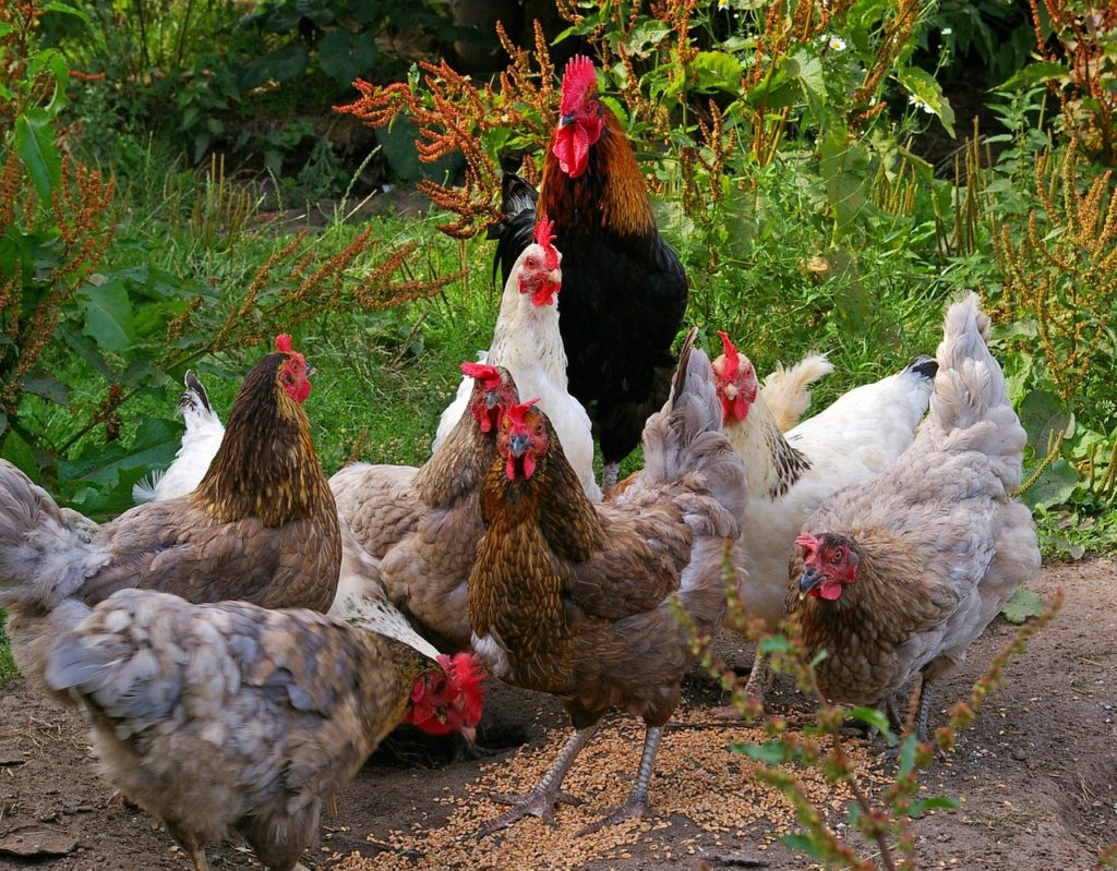 Do chickens eat rocks? Chickens swallow rocks as they eat in order to help them digest their food.