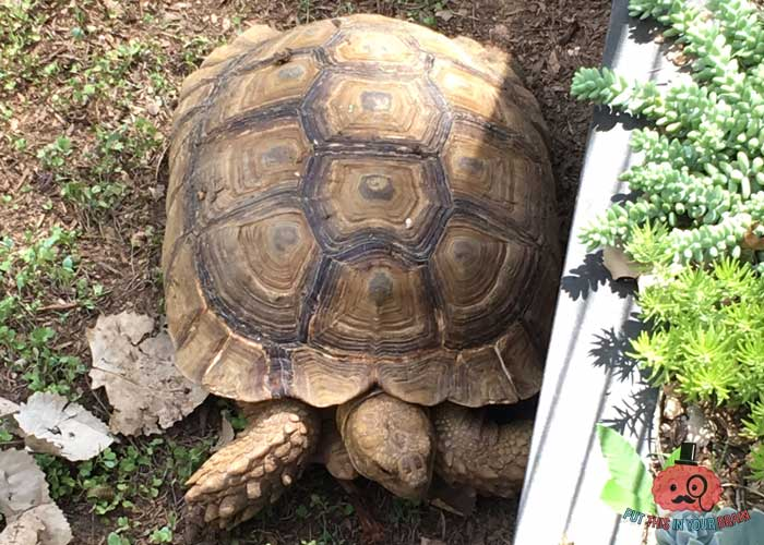 African Spurred Tortoise at the Science Mill